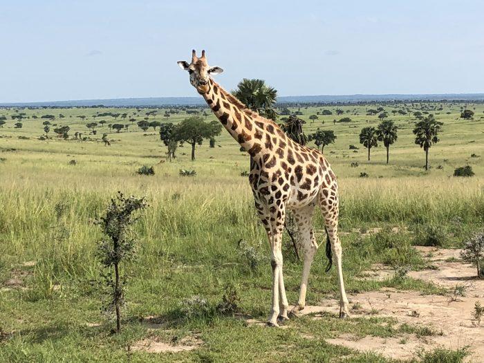Giraffe im Murchison