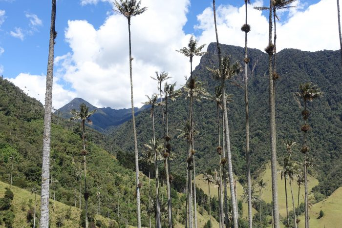 Die hochbeinigen Wachspalmen sind Kolumbiens Nationalbaum